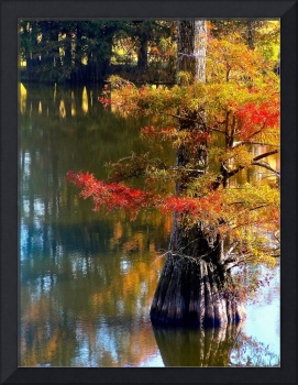 Cypress Tree in Louisiana Bayou in Autumn
