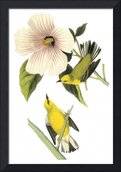 Blue-Winged Warbler Bird Audubon Print