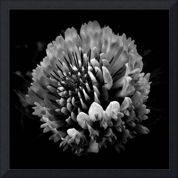 Red Clover In Black And White Vll