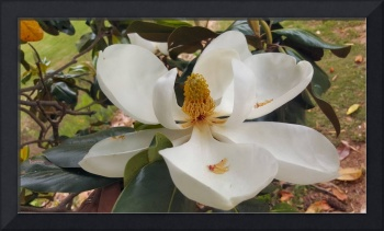 magnolia flower picture art print