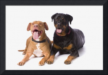 A Pit Bull And A Rottweiller On A White Studio Bac