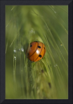 Ladybug in foxtail