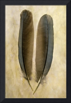 Pinyon Jay Feathers II
