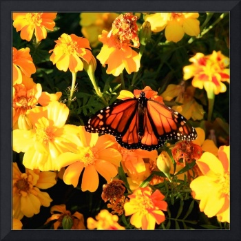 Monarch and Marigolds