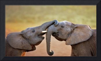 Elephants Showing Affection, South Africa
