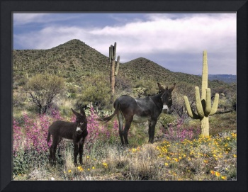 Wild Burros of the Sonoran Desert