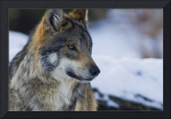 Mexican Gray Wolf in Winter