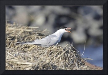 Forster's Tern Photograph