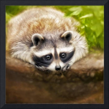 jonny the cute raccoon
