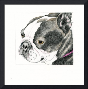 Boston Terrier Drawing