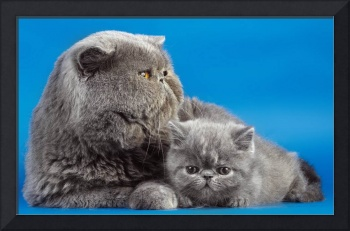 Grey Scottish Fold Mother And Kitten