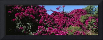 Low angle view of Bougainvillea flowers