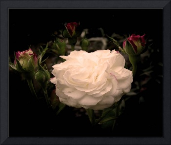 White Cloud Roses