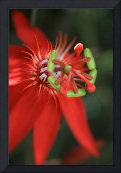 Passiflora vitifolia Scarlet Red Passion Flower