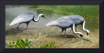 white naped cranes forage