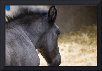 Percheron Colt