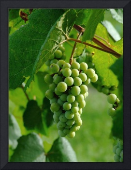 Blanc Du Bois grape cluster