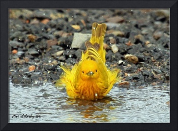 Yellow Warbler Bathing..