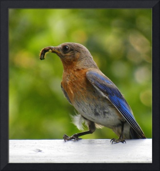 Bluebird Feeding Her Young