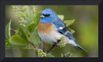 Blue Bird Robin