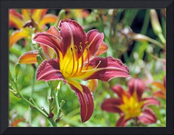 Purple and Yellow Day Lily