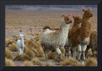 Family of llamas with small cute white kid
