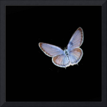 Eastern Tailed Blue Butterfly Black Square