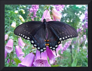 Spicebush Butterfly - Female - Foxglove Blossoms