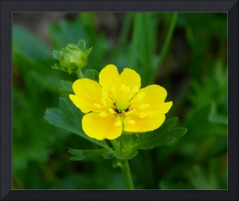 Botanical - Fanleaf Cinquefoil - Outdoors Floral