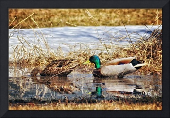 Backyard Mallards