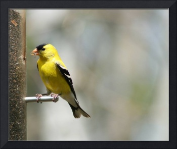 American Goldfinch Collecting Seeds from a Feeder
