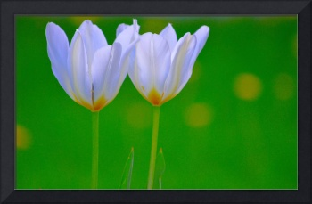 Twin White Tulips