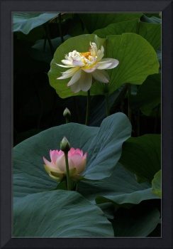 Lotus Beauties In White Pink Gold And Green