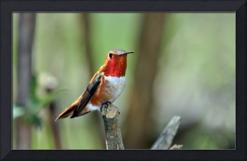 Male Rufous Resting