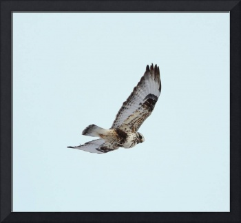 Light morph Rough-legged Hawk