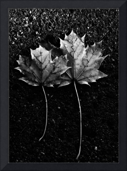 Two Maple Leaves In Black And White