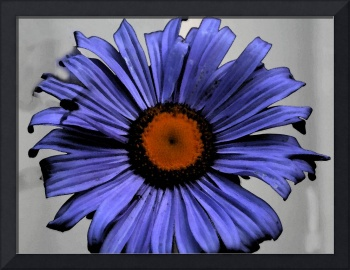 Blue aster with water colour filter in photoshop