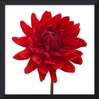 Red Dahlia Flower White Background