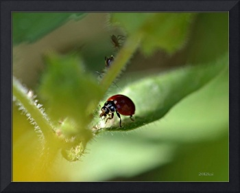 Ladybug with Aphid Treat