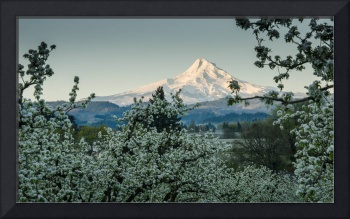 Mt. Hood in the Pear Blossoms 2