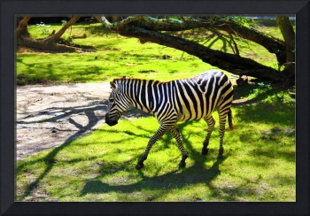 Zebra | Disney's Animal Kingdom