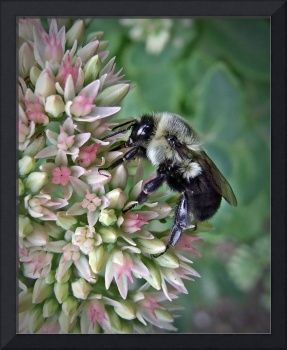 Bumble Bee On Autumn Sedum