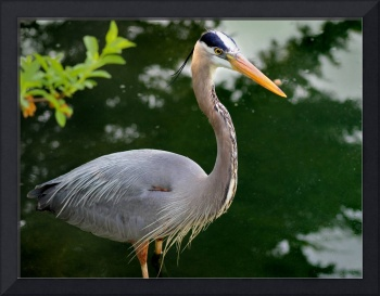 Great Blue Heron 2016