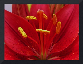 Floral - Lily Macro - Garden Flower