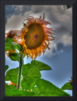 Sunflower Under Cloudy Sky