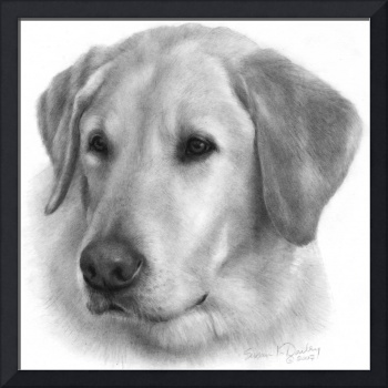 Sam, Yellow Labrador Retriever
