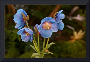 Blue Poppy Splendor