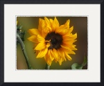 SunflowersDaisiesMums gallery
