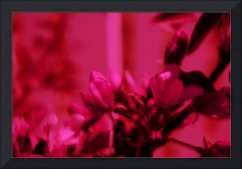 Apple Blossom   0193 Red Edit