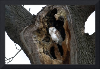 wild Barn Owl in a tree hollow
